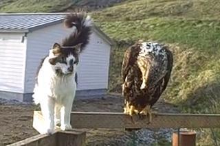 1 águila, 2 zorros y 3 gatos en Alaska