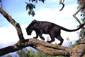 animales salvajes pantera
