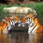 Documental: IMAX – India: El Reino del Tigre