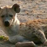 Documental Animales: La hiena, la reina del Masai Mara