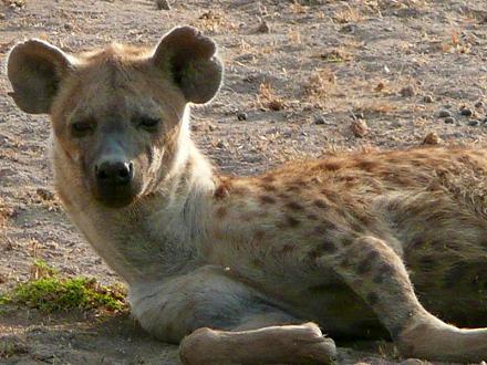 documental animales hiena masai mara