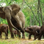 Búfalo se enfrenta a elefante