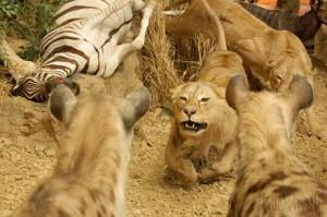 leones hienas cebra