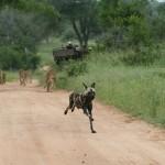 ¿Leones persiguiendo perros salvajes?