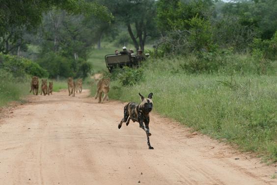 leones persiguiendo perro salvaje
