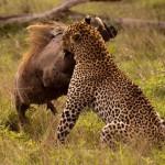 El peor intento de caza de un leopardo