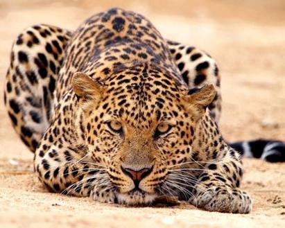 leopardo cazando