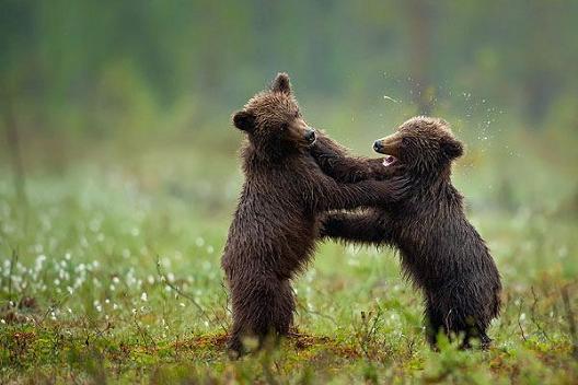 osos pardo jugando