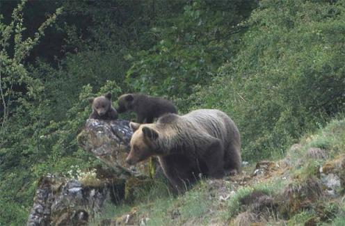 osos somiedo