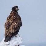 Aguila de un año en el porche de Unalaska