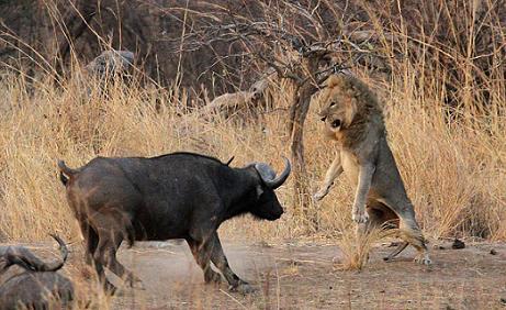 Bufalo defiende a su cría de una leona