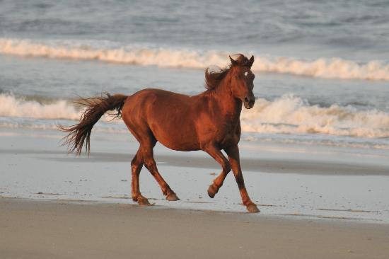 caballo salvaje galopando corolla