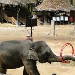 Elefantes jugando al Hula Hoop