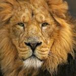 Encuentro cercano con leones