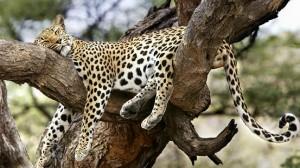 leopardo acrobacias descansando arbol
