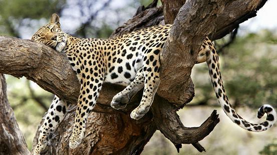 Leopardo haciendo acrobacias en un árbol