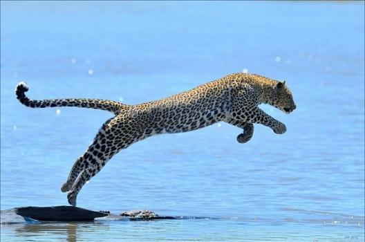 Un leopardo cazando en un río