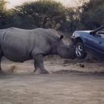 Rinoceronte atacando un coche