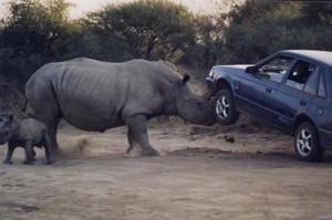 rinoceronte atacando coche