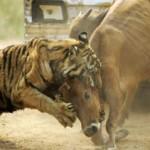 Tigre cazando una vaca