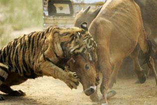 tigre cazando vaca