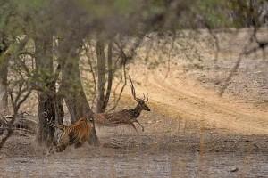 tigre cazando venado