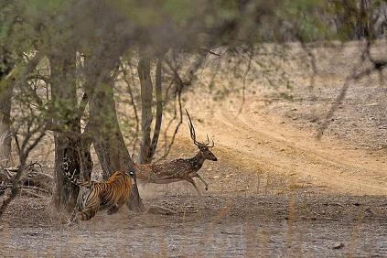 Tigre cazando un venado en el agua