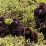 Gorilas jugando en el Congo