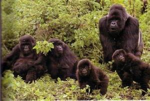 gorilas jugando