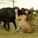 Tres leones cazando una madre búfalo y su cría
