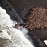 35000 morsas varadas en Alaska