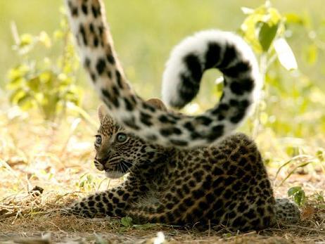 Hermoso vídeo de un leopardo con su cría