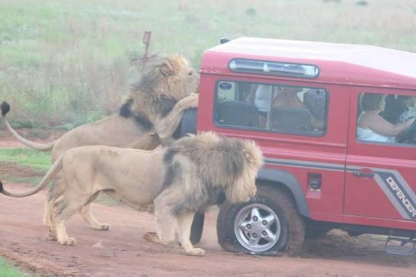 Leones atacando un coche