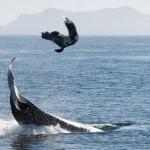 Orca hace volar a un león marino