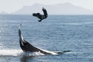 orca leon marino