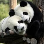 Osos panda jugando en un tobogán