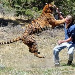 Tigre peleando con Randy Miller
