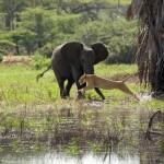 Elefantes defendiendo sus crías de un león