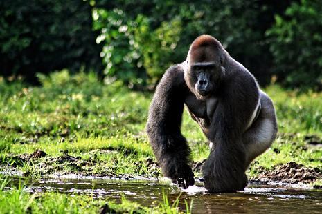 Un ratico en la vida de los gorilas