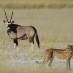 Luchas entre guepardos y oryx