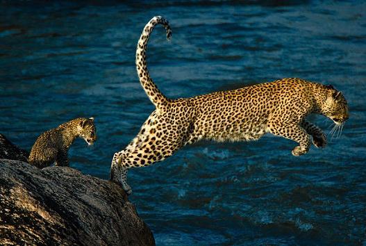 Leopardo y su cría cruzando el rio Sabie