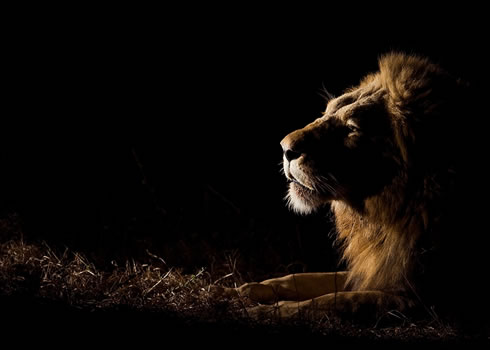 Encuentro cercano con un león en Sabi Sabi