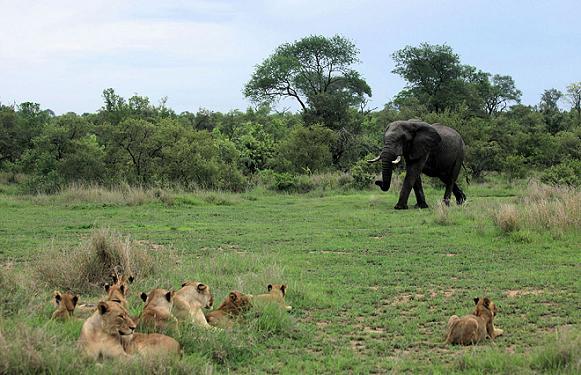 reserva sabi sabi leones elefante