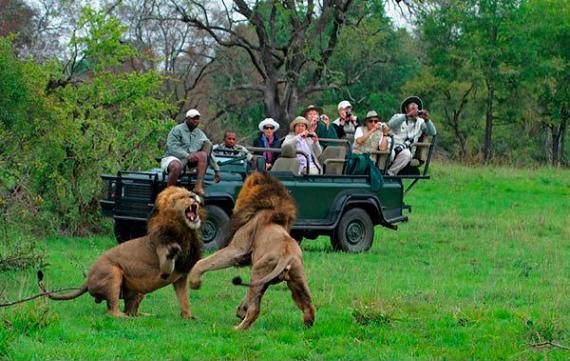 reserva sabi sabi leones peleando