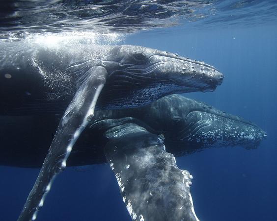 Buceándo con una ballena y su cría