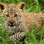 Jugando con cachorros de leopardo