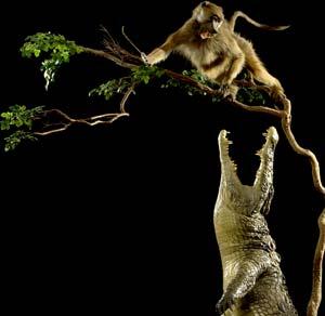 cocodrilo cazando babuino