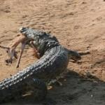 Cocodrilo robando un impala a perros salvajes