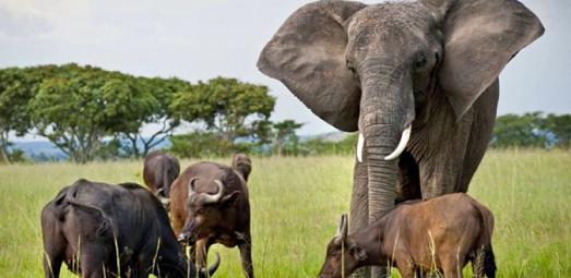 Elefante atacando a un búfalo
