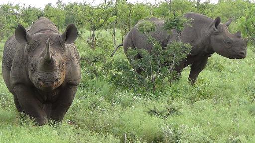 Encuentro cercano con un rinoceronte